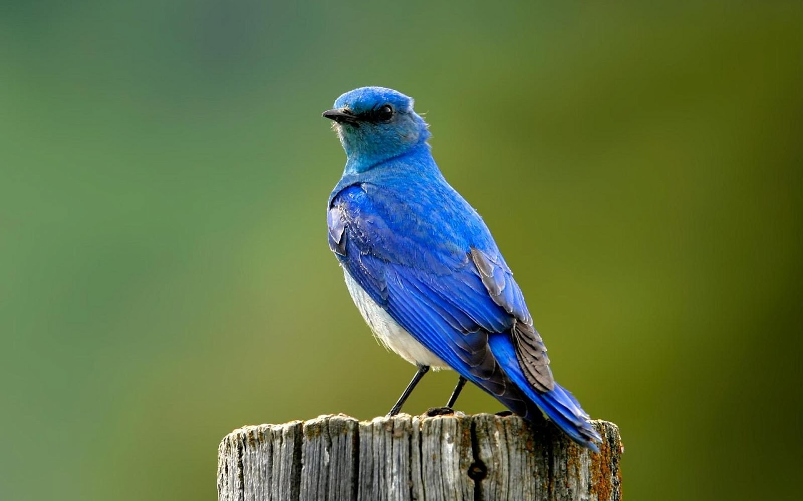 blue bird wallpaper blue bird wallpapers bird wallpaper hd beautiful 1600x1000