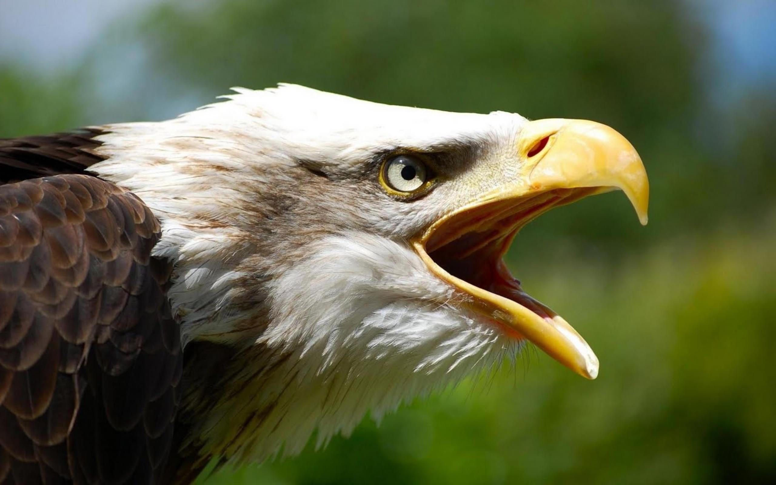Скачать Обои Орел