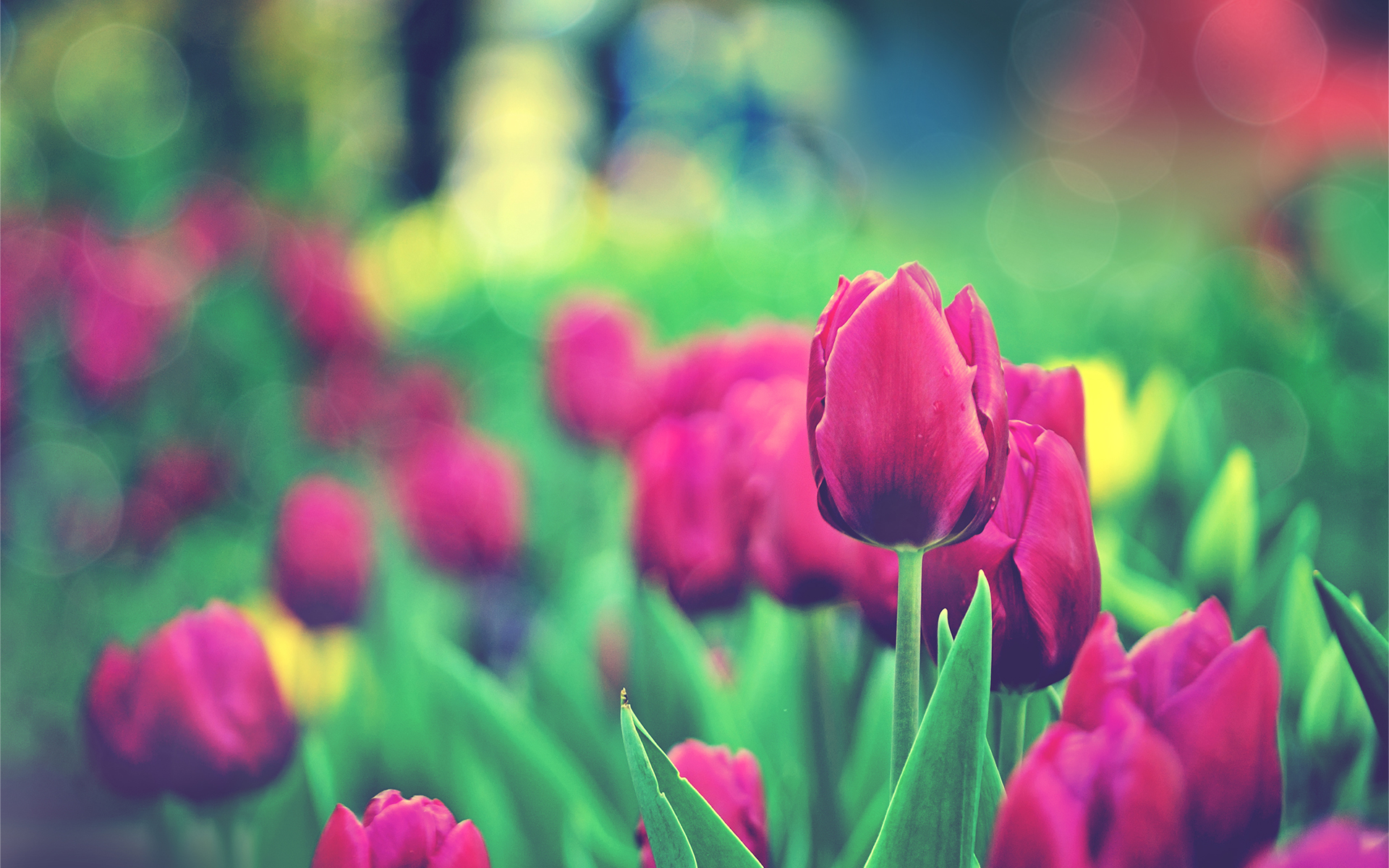 67 Tulip Wallpapers On Wallpapersafari