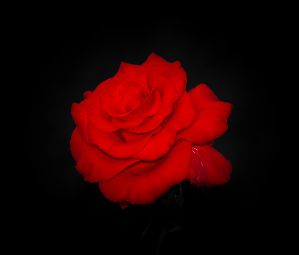 [69+] Red Rose On Black Background on WallpaperSafari