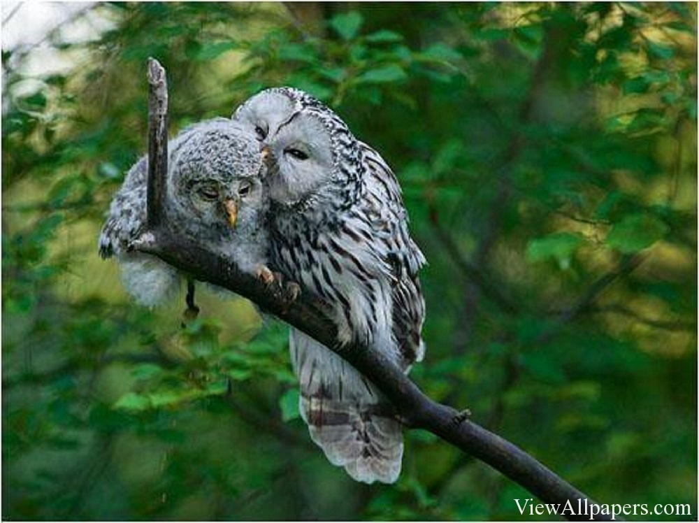 Animal Planet Owls In Love High Resolution download Animal 1000x748