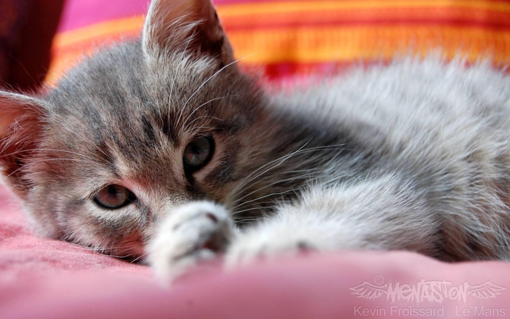netautumn tabby cute cat desktop background wallpaper free wallpaper 1680x1050