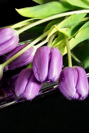 Purple Tulips iPhone HD Wallpaper iPhone HD Wallpaper download iPhone 340x510