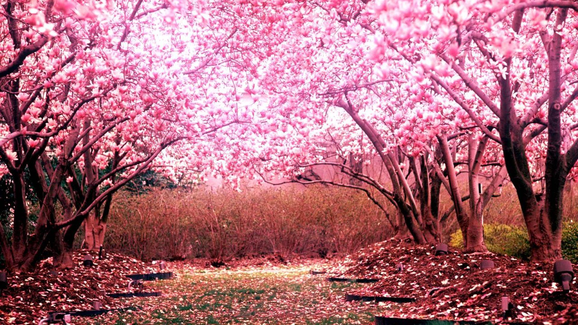 Cherry Blossom Tree Desktop Background HD 1920x1080 deskbgcom 1920x1080