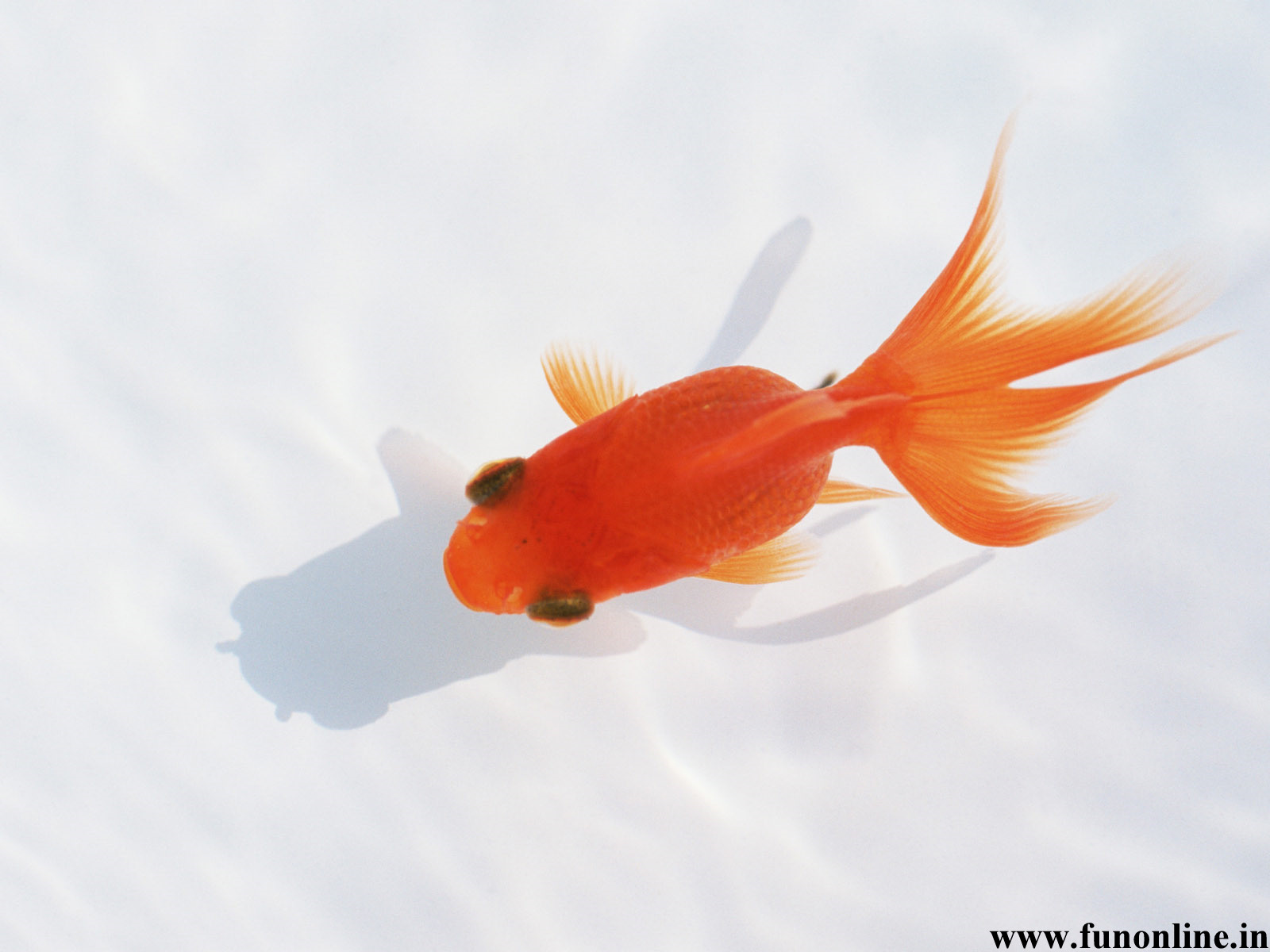 Goldfish Wallpapers Download Funny Kitten and Goldfishes Wallpaper 1600x1200