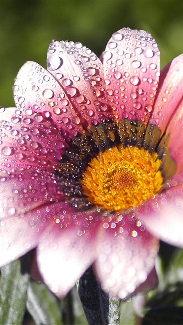 Flower wallpaper iphone wallpapersafari pink flowers iphone wallpaper wallpapers iphone hd wallpapers ddrswpqt 640x1136 mightylinksfo