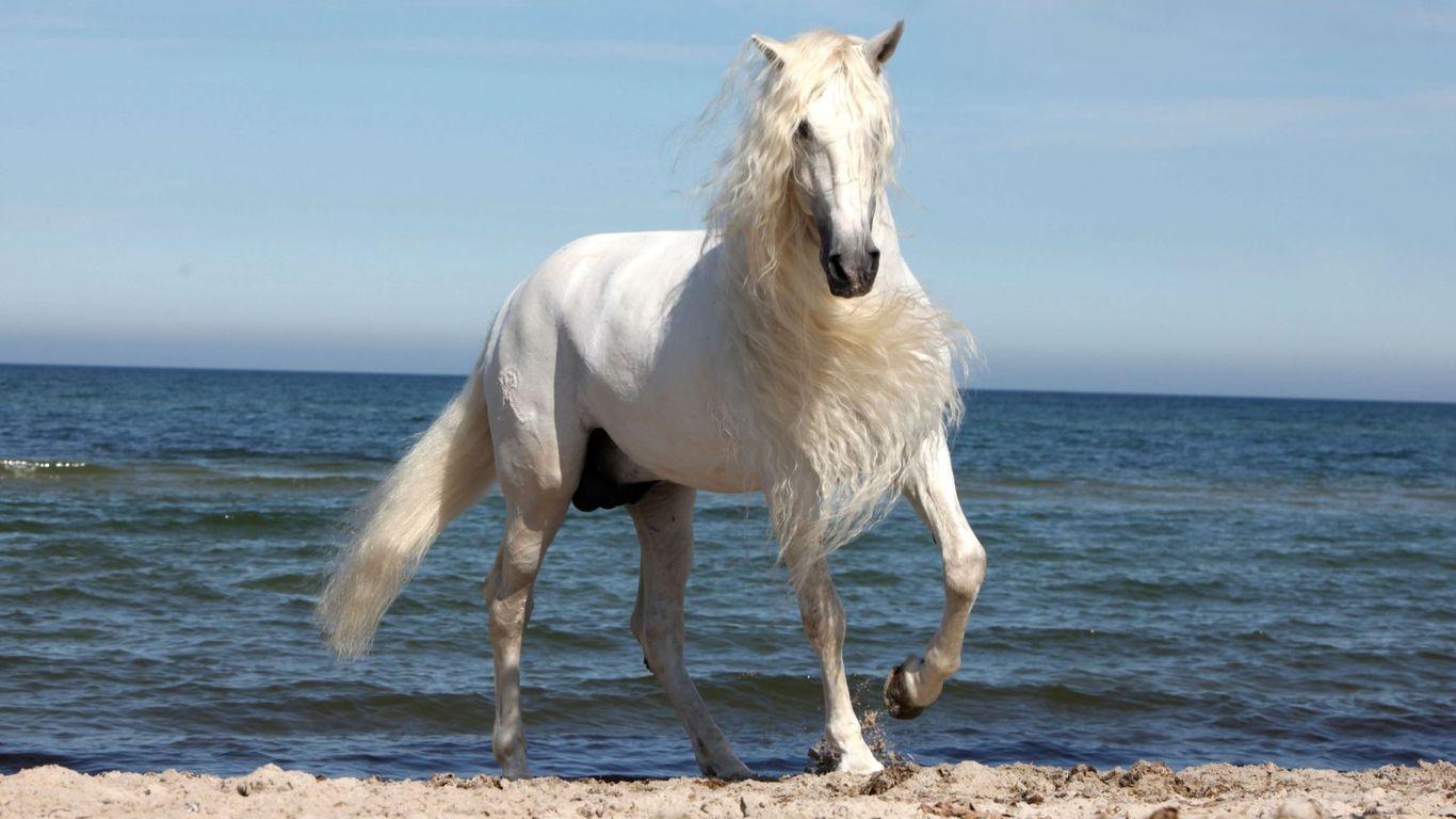 Download Beautiful white horse wallpaper 1366x768