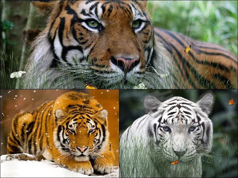Wild Tigers Animated Wallpaper   DesktopAnimatedcom 800x600