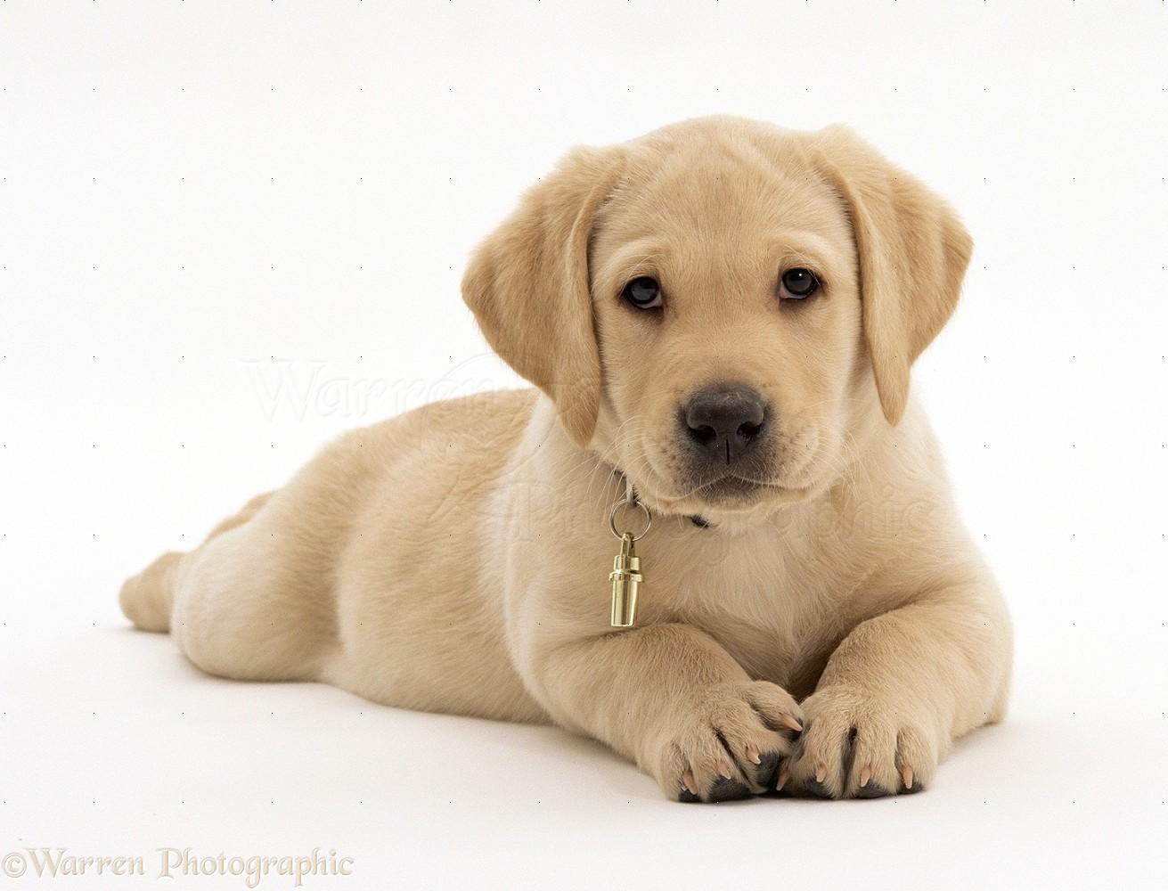 23935 Yellow Labrador Retriever puppy white backgroundjpg 1311x1000
