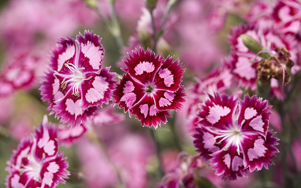 Images flower dianthus 1280x800