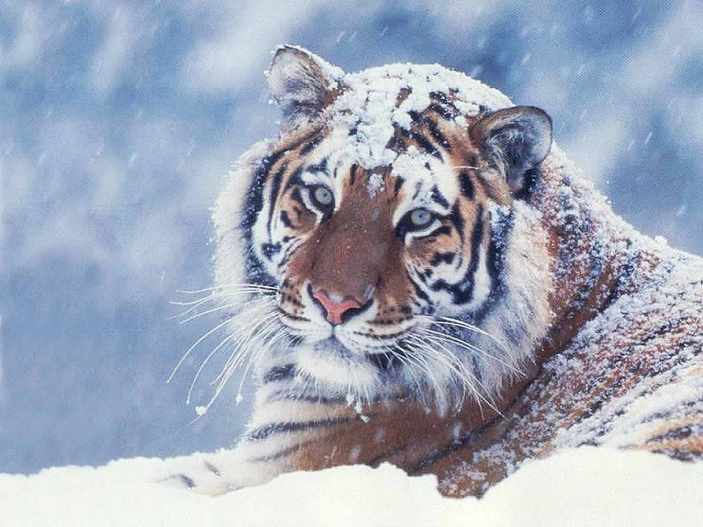 Animals Tiger Snow Wallpapers Hd Desktop And Mobile: Wild Cats Wallpaper