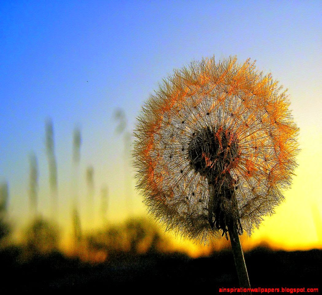 Dandelion for Dandelion Sunset Flower Desktop Wallpaper Desktop 1049x962