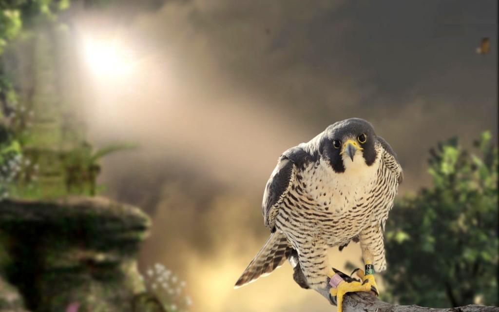 Falcon High Resolution Wallpapers: Peregrine Falcon Wallpaper