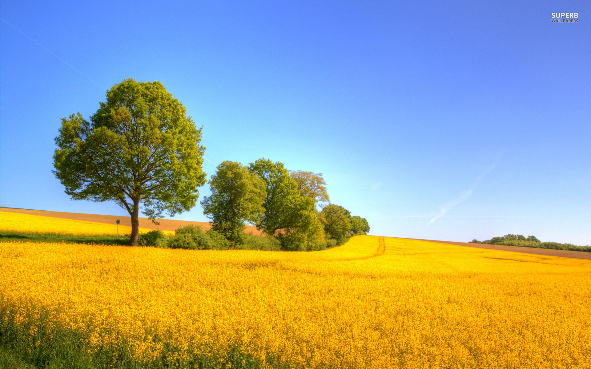 Yellow Rapeseed Field wallpapers Yellow Rapeseed Field stock photos 1920x1200