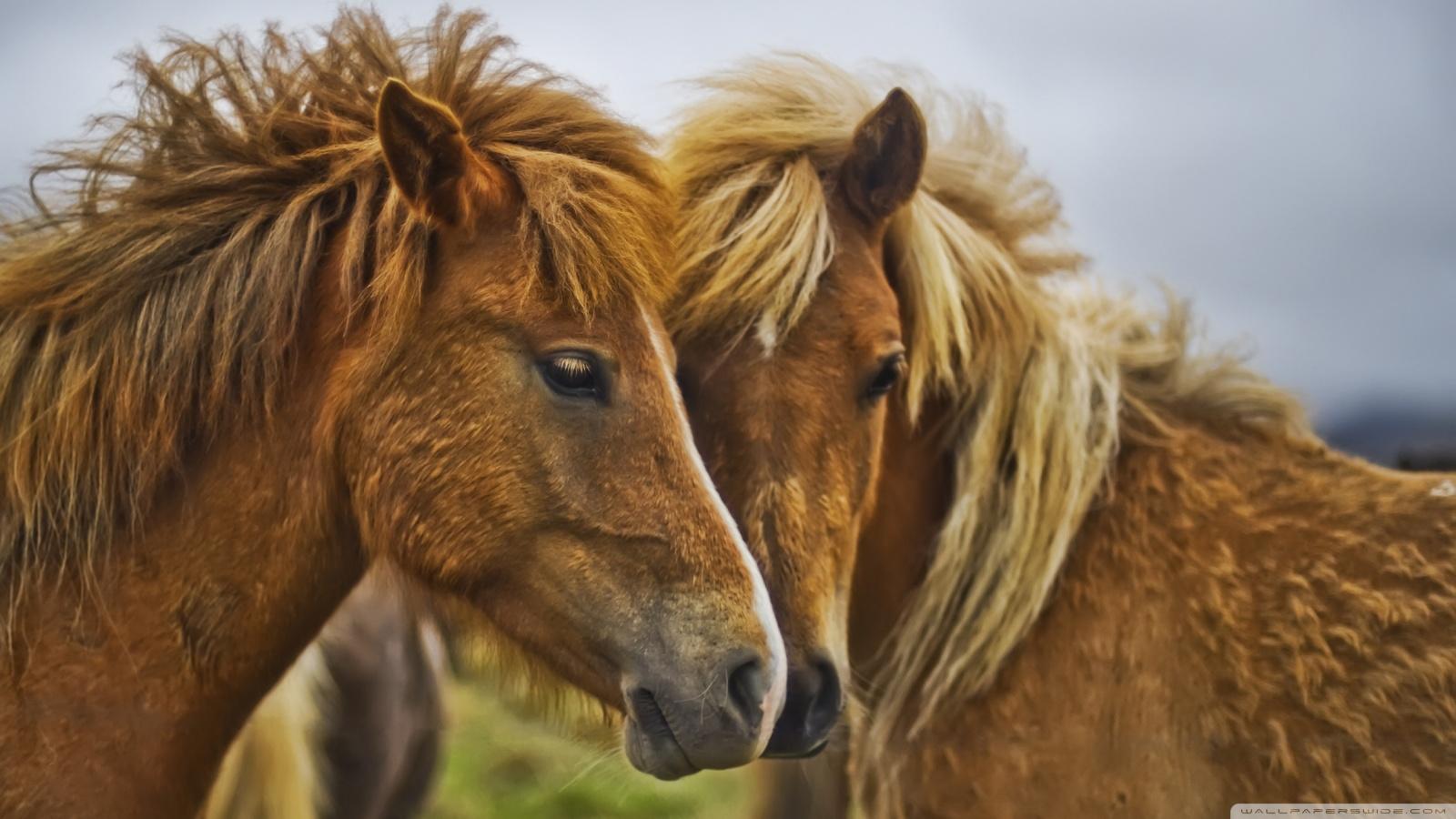 Horses HD Wallpapers Great Horses Animal Photo 1600x900