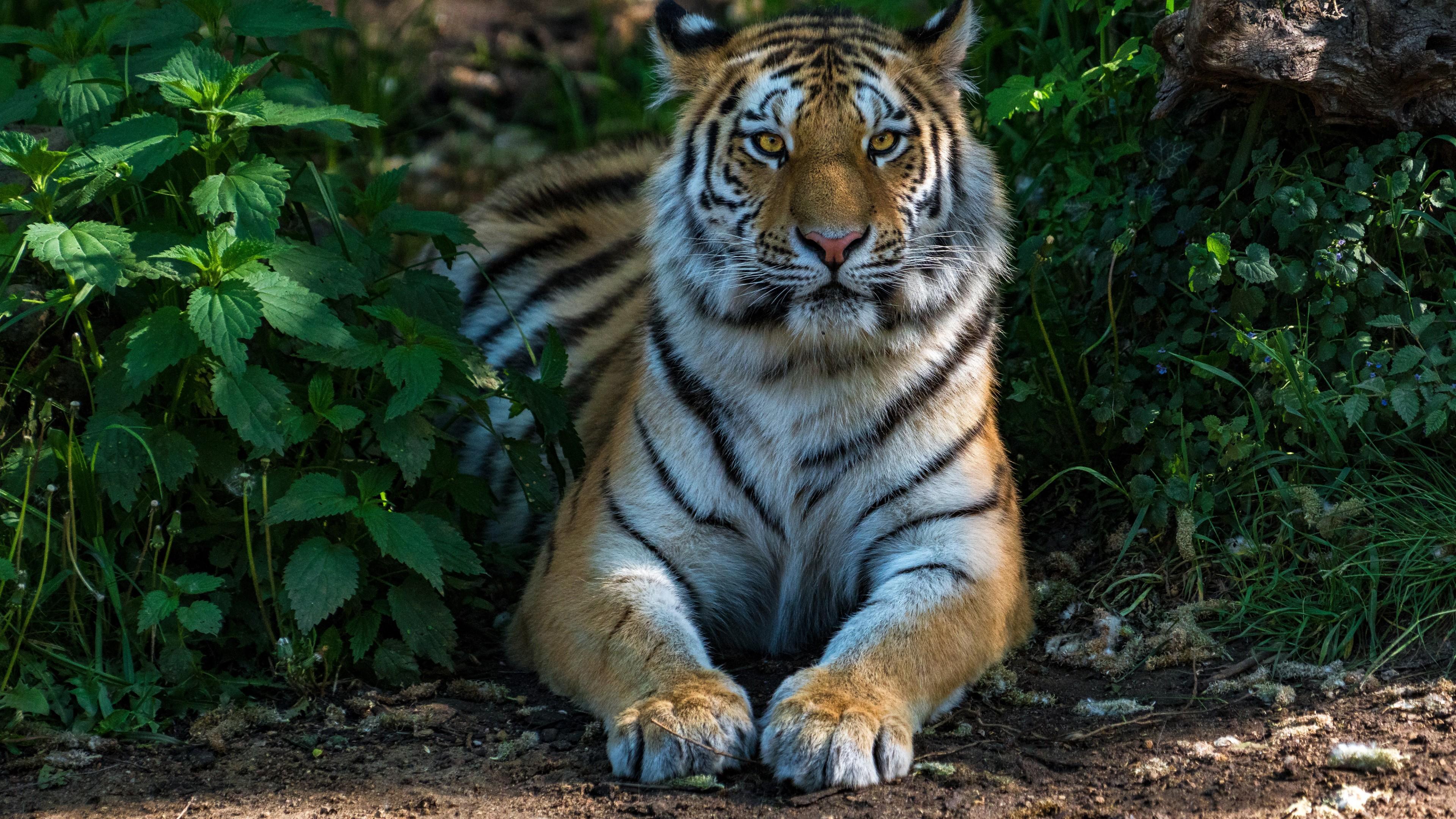 Tiger Desktop Background Photo Download 3840x2160