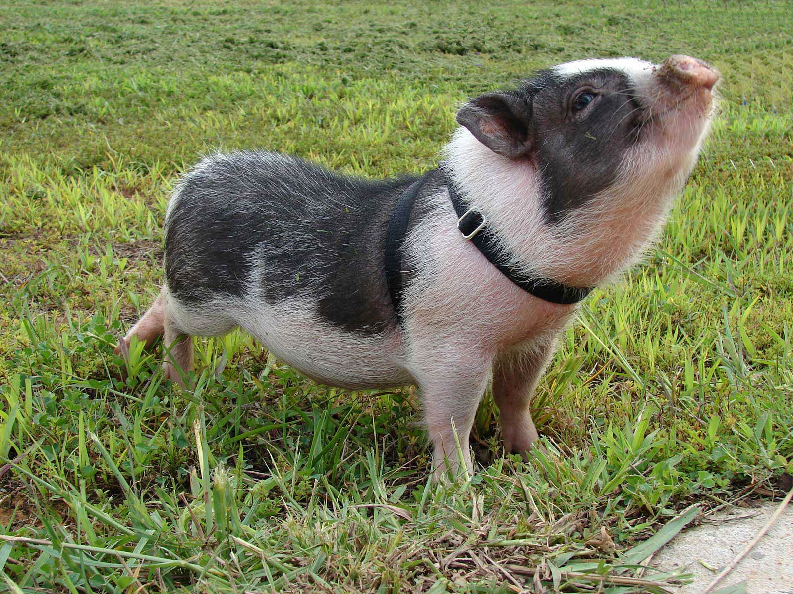 free Potbellied Pig wallpaper wallpapers download 1600x1200