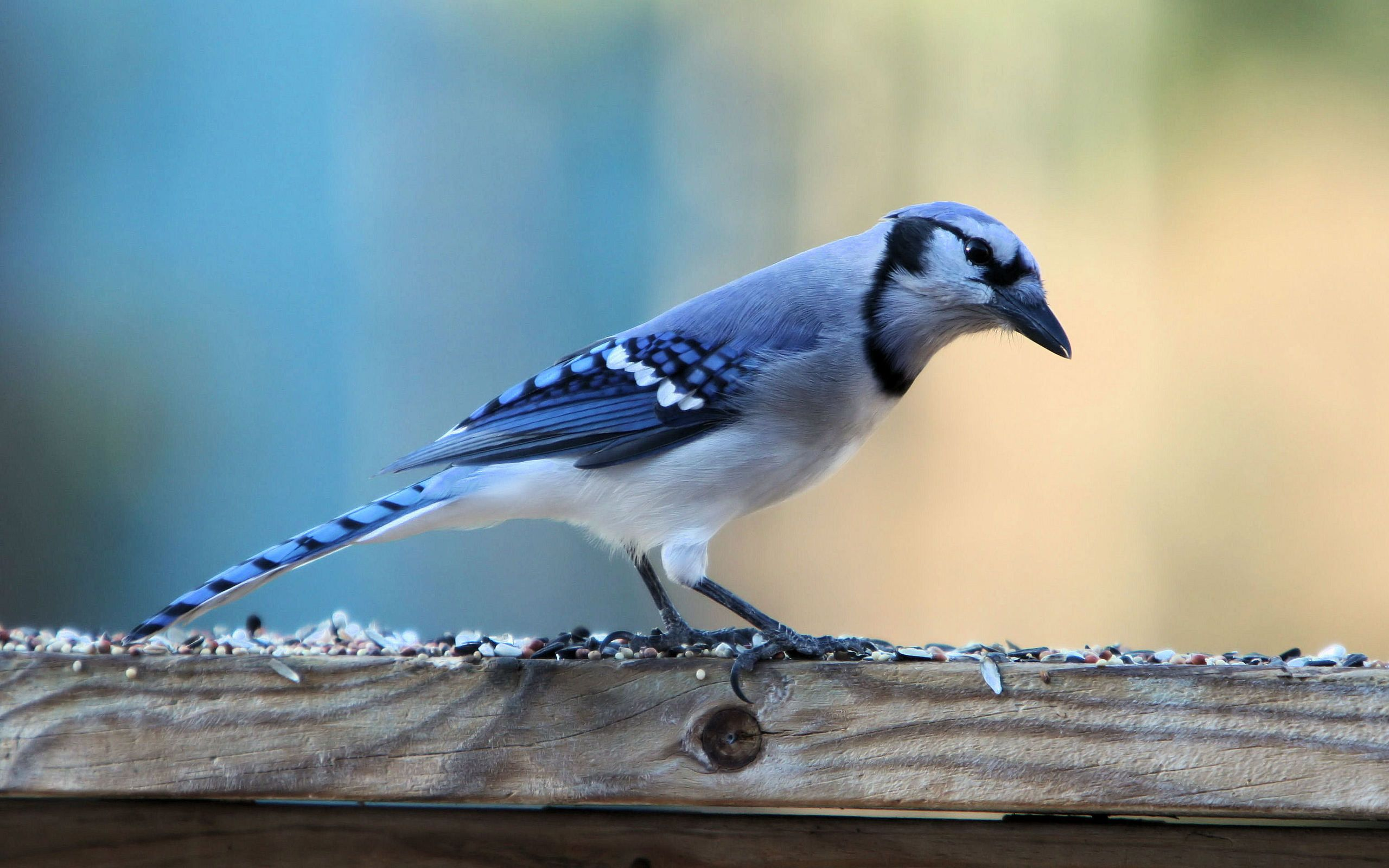 Download Cute Blue Jay Bird Wide Wallpaper Full HD Wallpapers 2560x1600