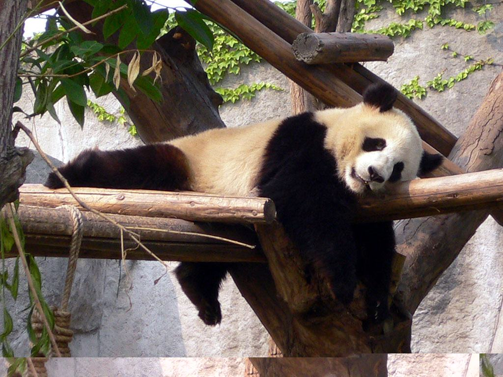 Wallpapers Backgrounds   More Wallpapers Cute Panda Bears Giant 1024x768