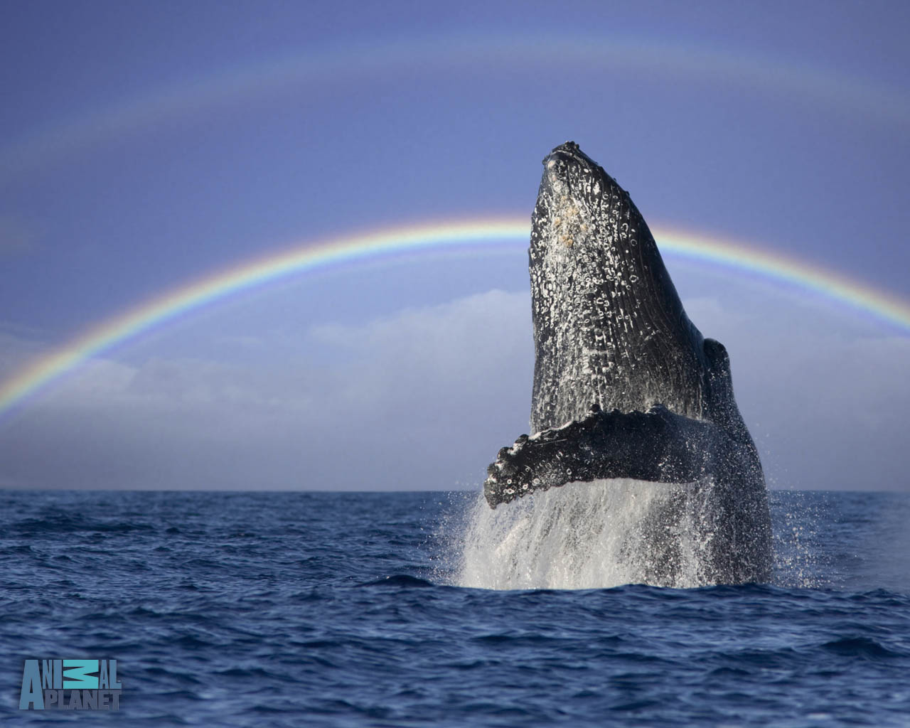 Animal Planet Whales Wallpaper Download   humpback whale rainbow 1280x1024