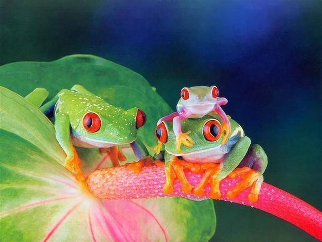 Beautiful Frog Wallpaper Download For Free Goats Animal: Cute Frog Wallpaper