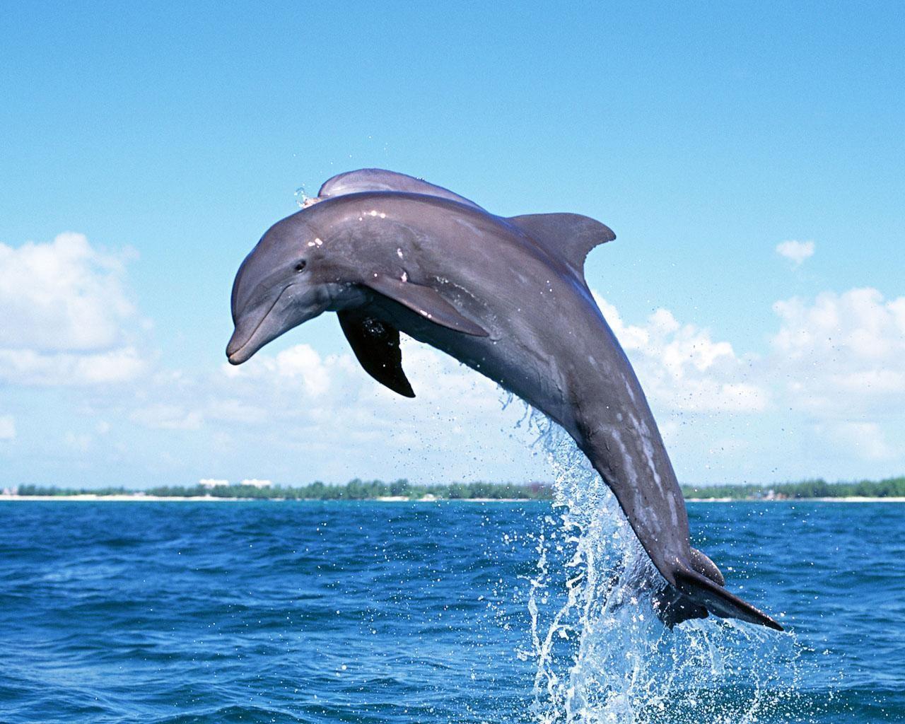 Dolphins Backgrounds download in digitalimagemakerworldcom 1280x1024