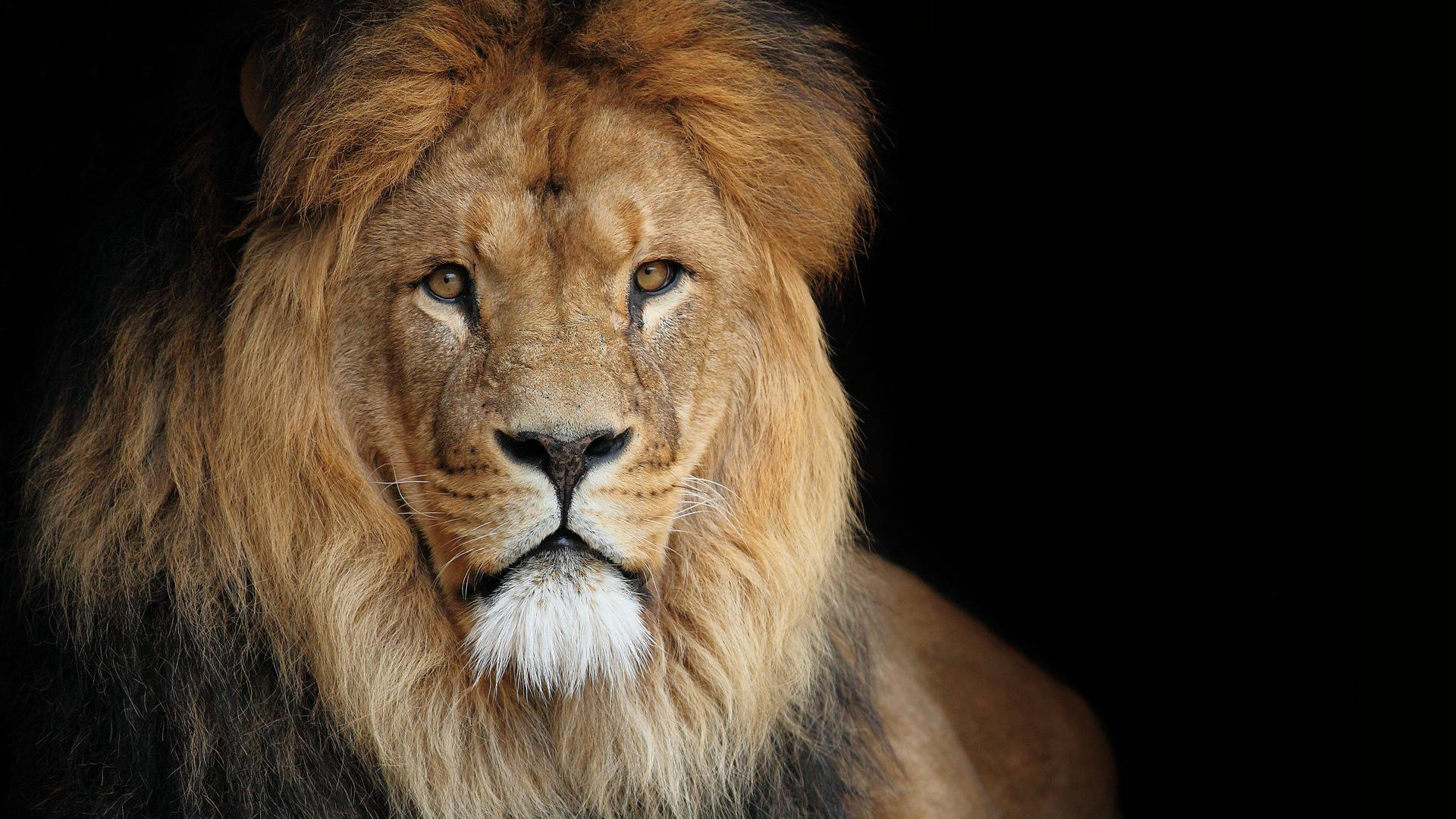 Lion Hd Wallpapers: Lion HD Wallpapers 1080p