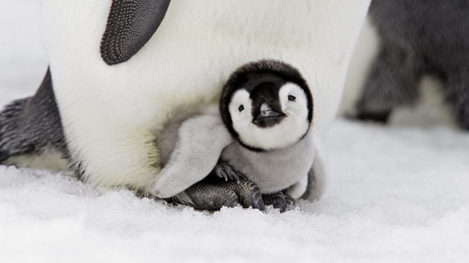 baby penguin images Baby Penguin Wallpaper HD Wallpapers 1600x900