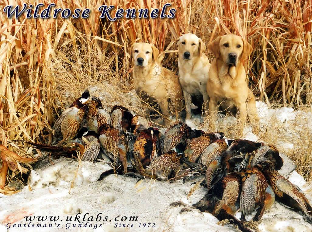Ducks Unlimited Dog Wallpaper monthly wallpaper 1026x764