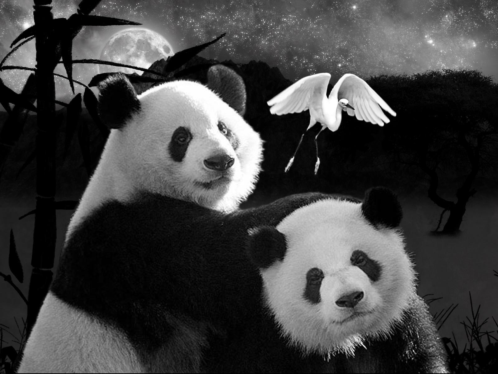 Pandas Pandas 1600x1200
