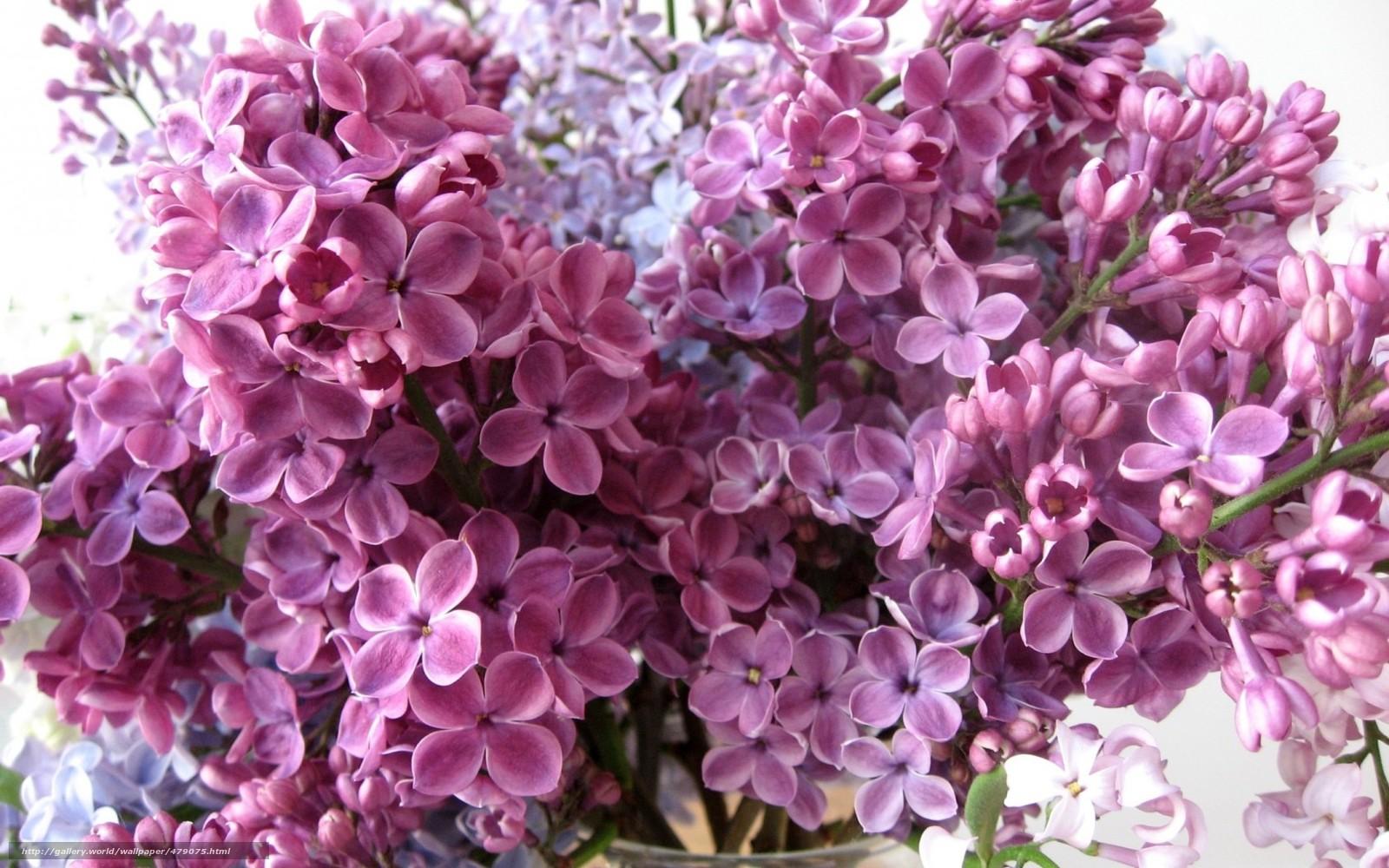 Download wallpaper Petals lilac Flowers desktop wallpaper in 1600x1000
