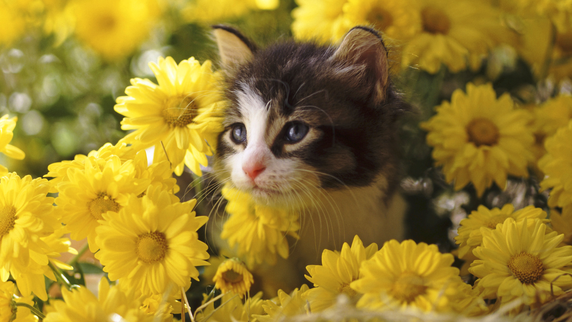 Cat wallpapers hd 1920x1080 wallpapersafari - Kitten wallpaper hd ...