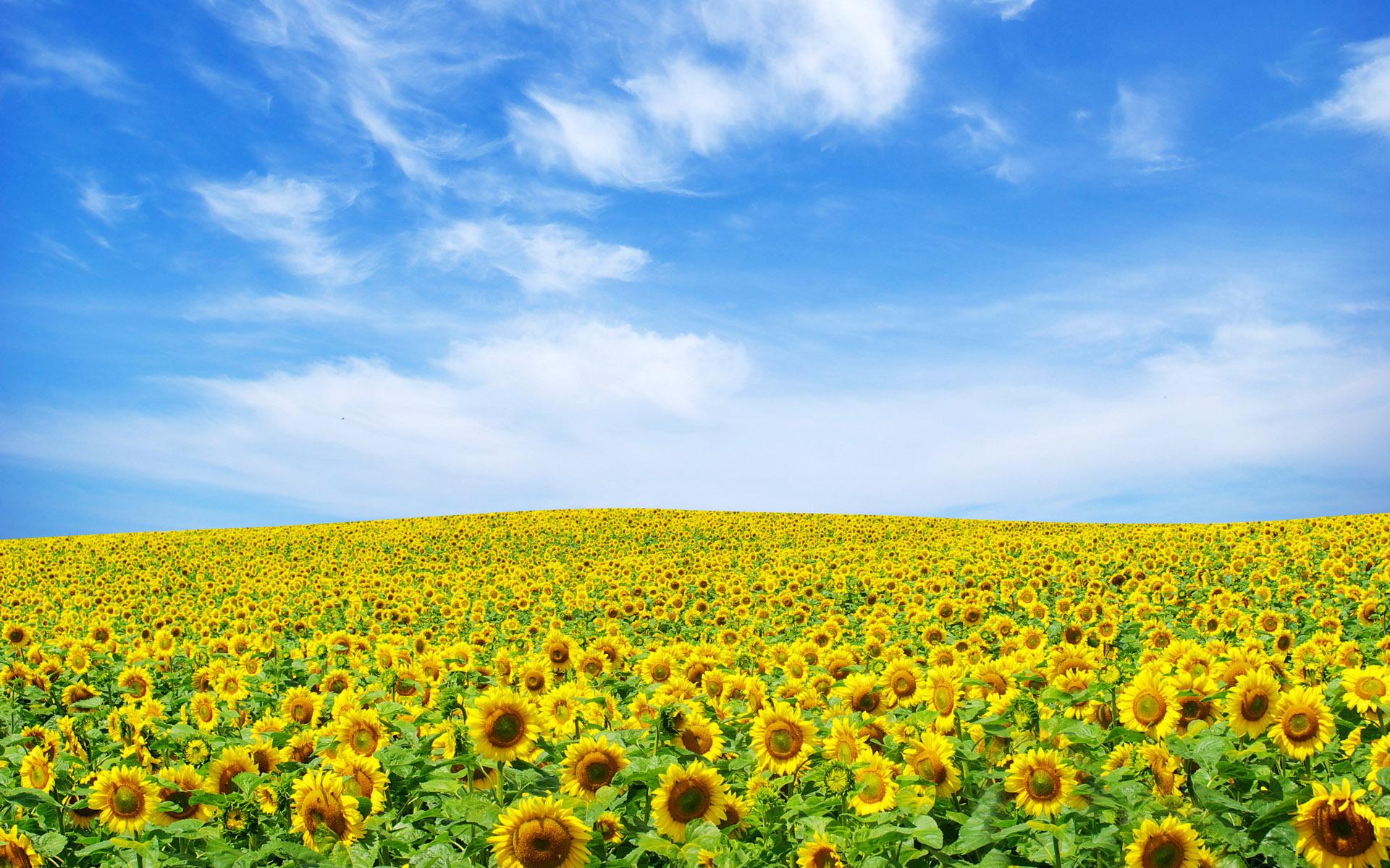 Sunflower Landscape Wallpapers HD Wallpapers 1920x1200