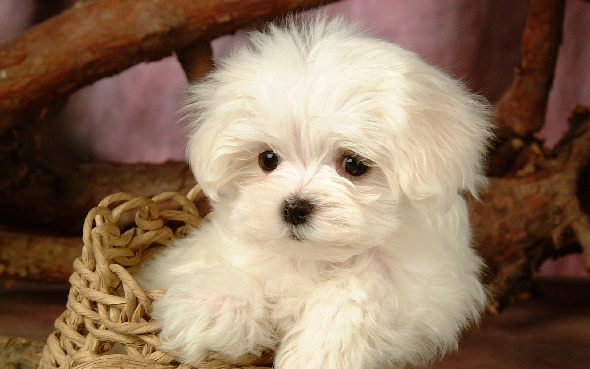 puppies screen saver dog lovely plains animal baby wallpapers 1920x1200