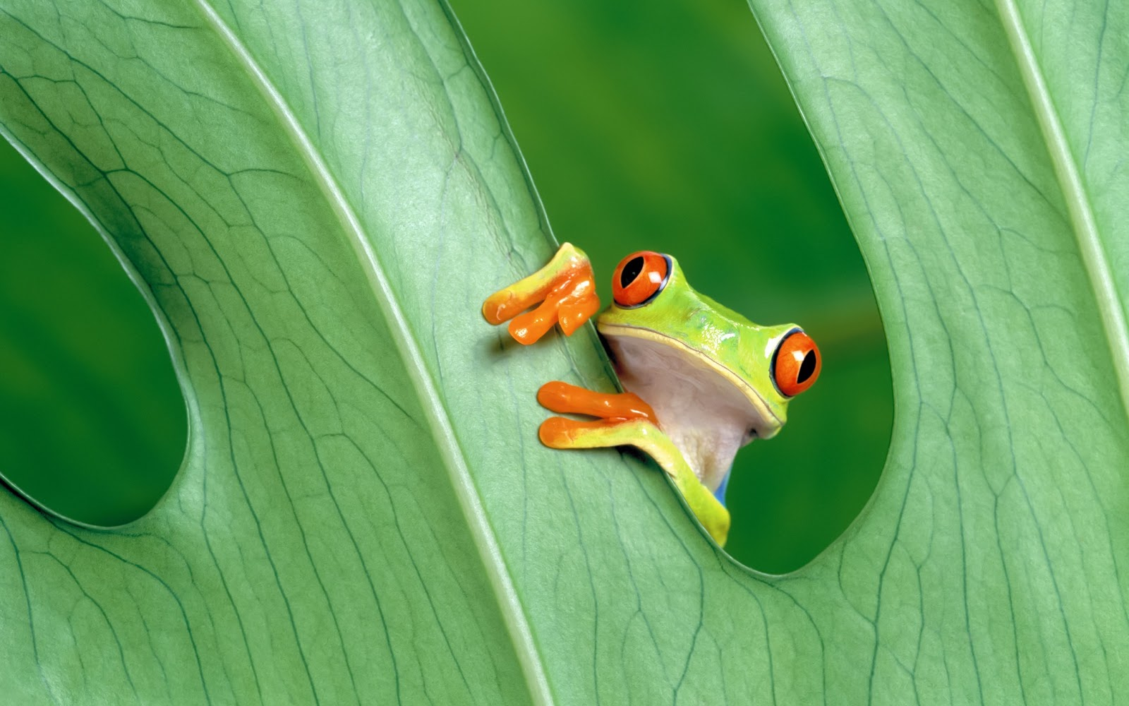 Crazy Frog HD Wallpaper Animals Wallpapers 1600x1000