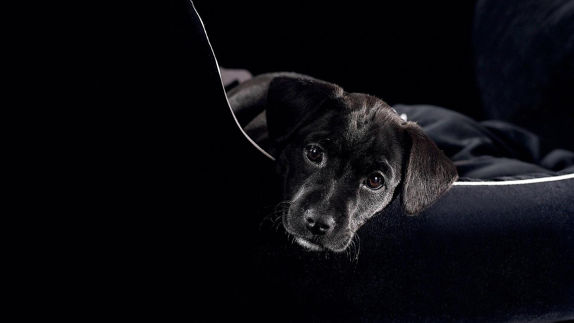 Black Labrador puppy wallpaper cute Wallpapers 3d for desktop 3d 1920x1080