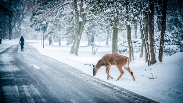winter christmas deer wildlife Wallpapers Desktop Wallpapers 600x337