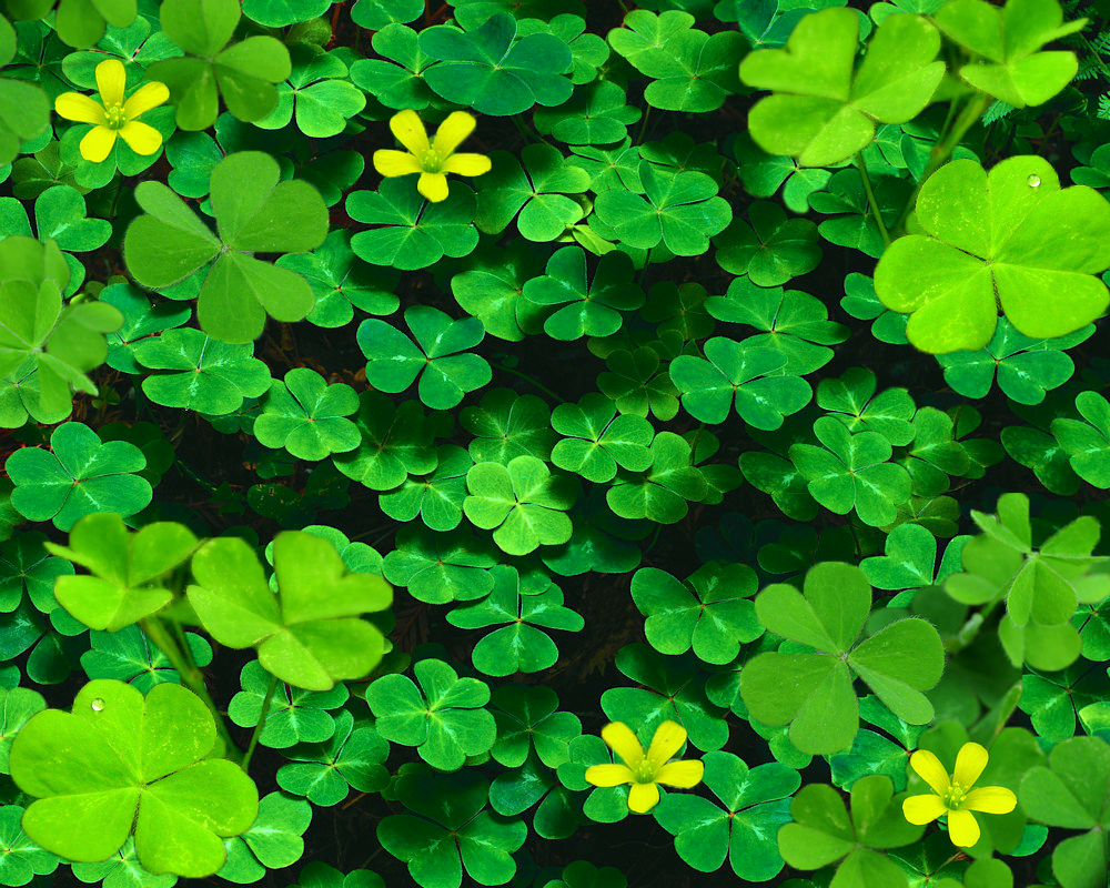 Clover Background Clover background done by 1000x800