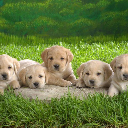 HD Five Labrador Puppies Wallpaper 500x500