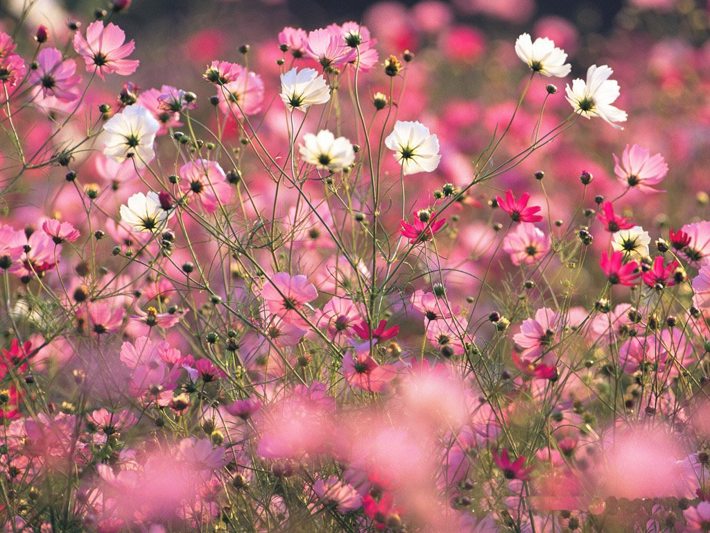 Cosmos Spring Flower Wallpaper   Colorful Cosmos Spring Flower 1024x768