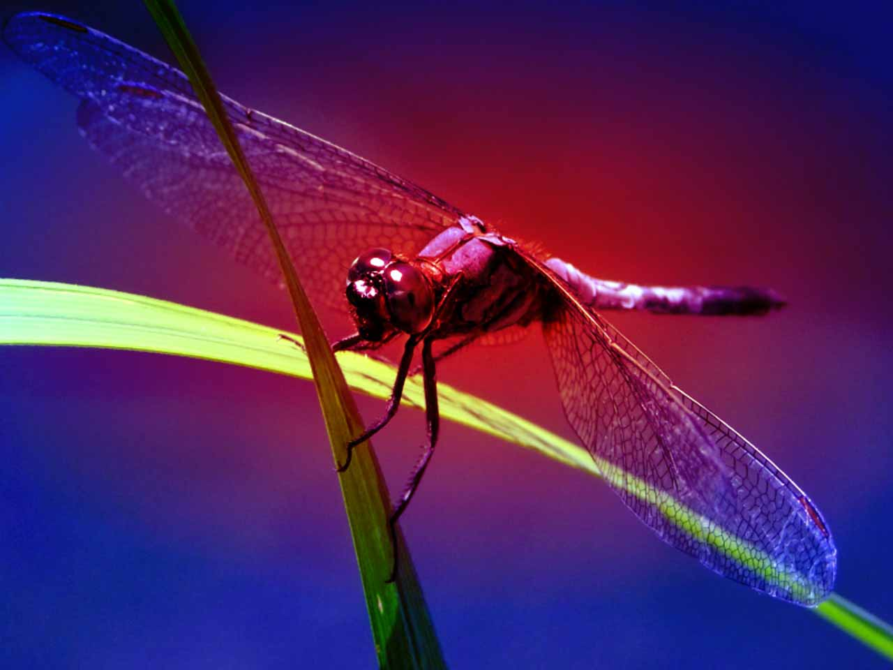 HD Wallpapers Dragonfly Wallpapers 1280x960