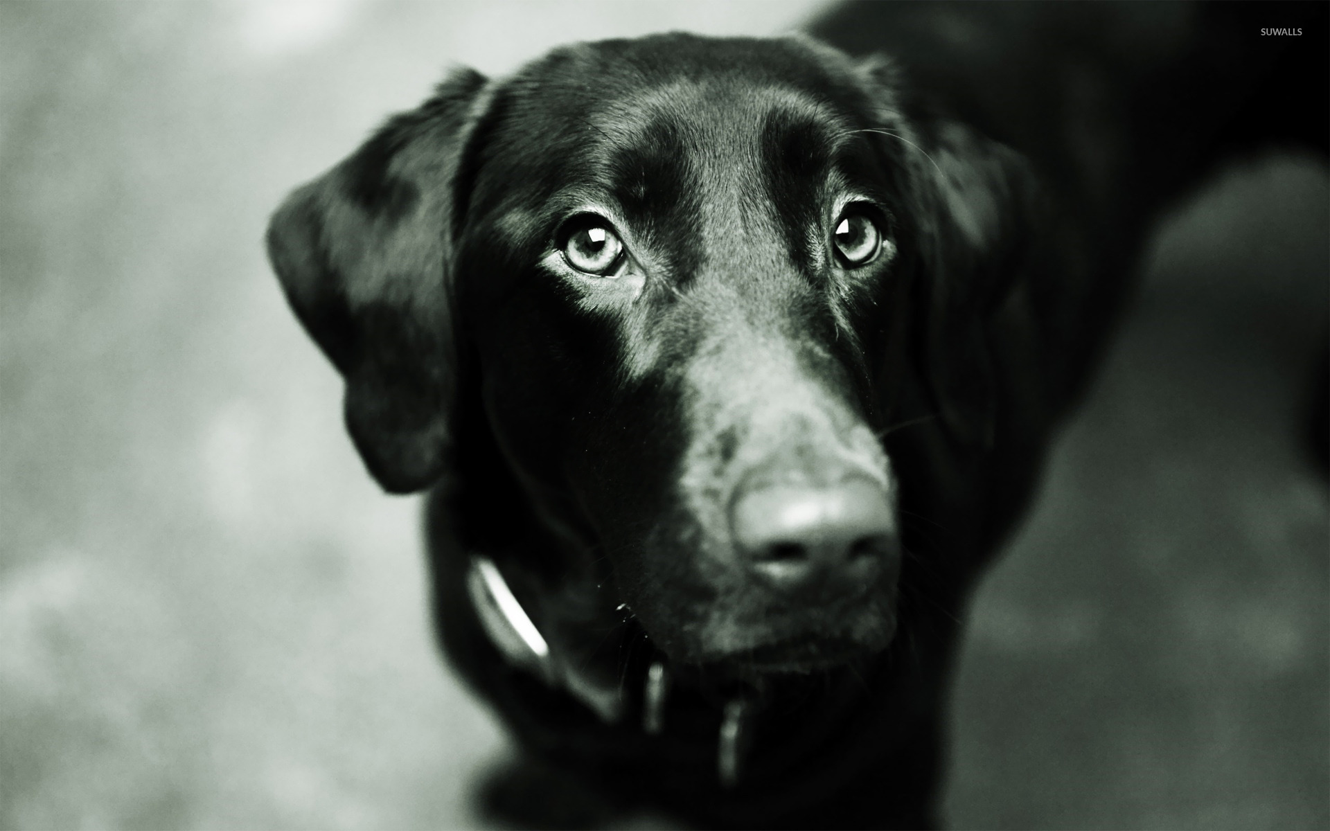 Black Lab Screensaver   zexibu55s soup 1920x1200