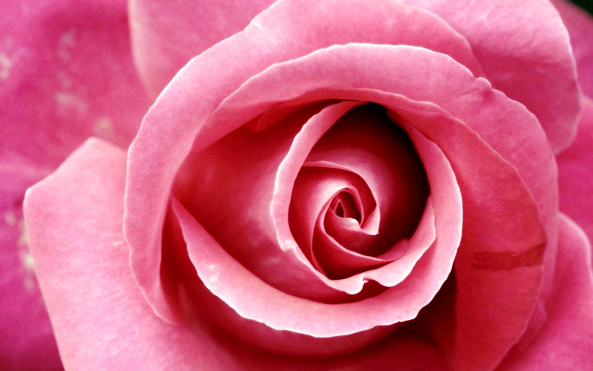 Beautiful Pink Rose Wallpapers HD Wallpapers 1920x1200