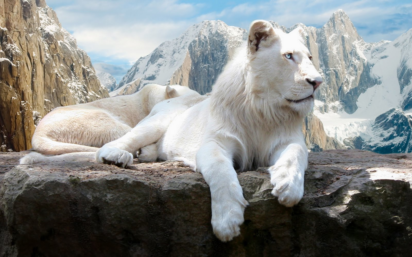 25 Beautiful White Lion Wallpaper 1600x1000