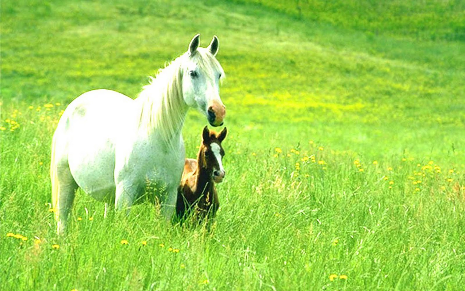Beauty Full Horse Wallpapers And Animal Wallpapers 1600x1000