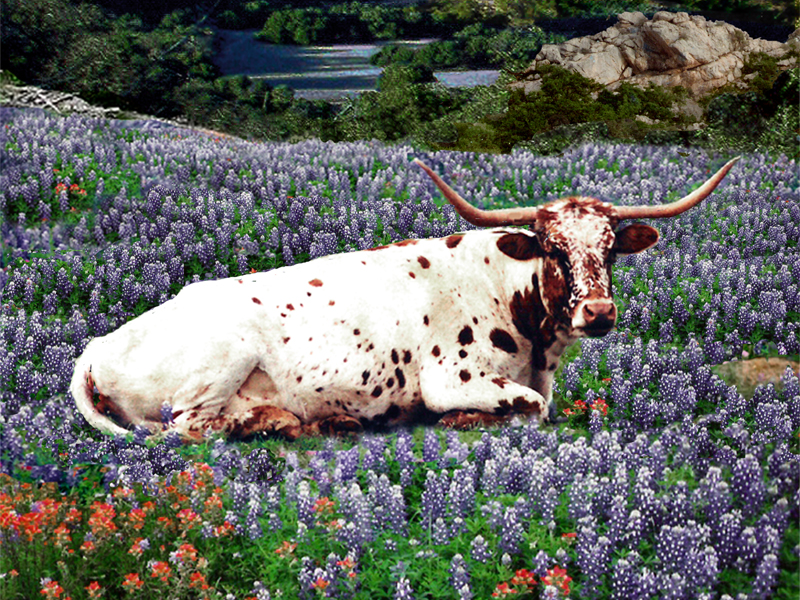 Bluebonnets And Longhorns Longhorn bluebonnets 800x600