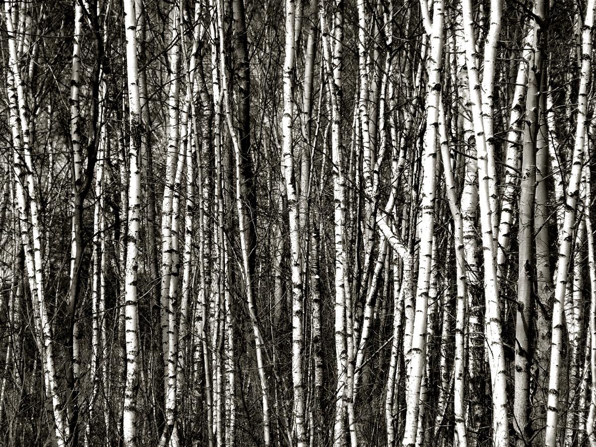 dog forest birch trees trees snow bruiach birch white tumblr 1200x900