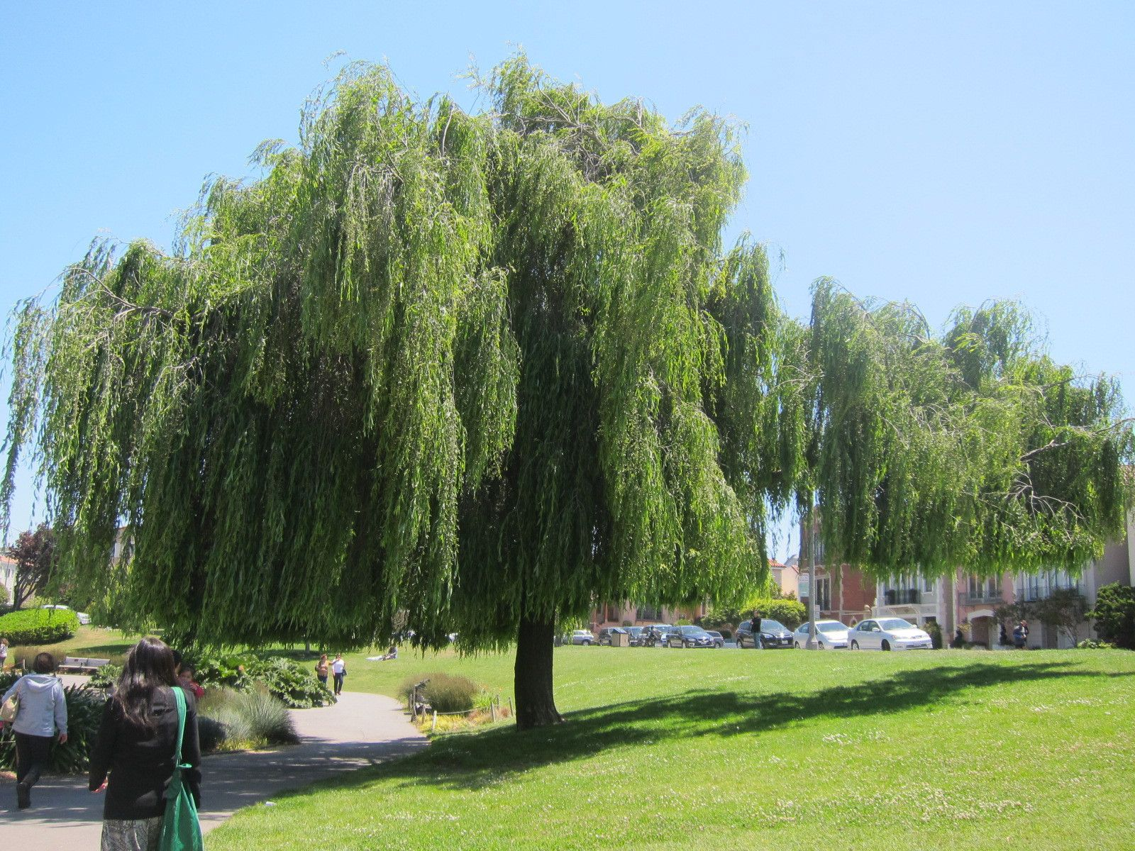 Weeping Willow Wallpapers 1600x1200