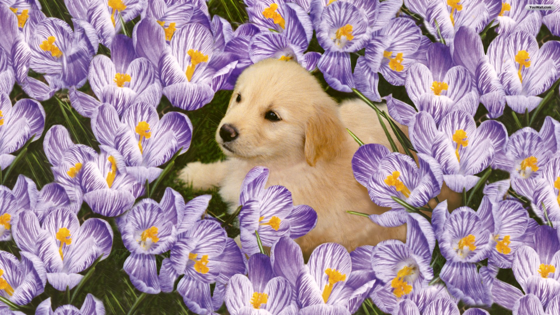 cute puppy wallpapers for free