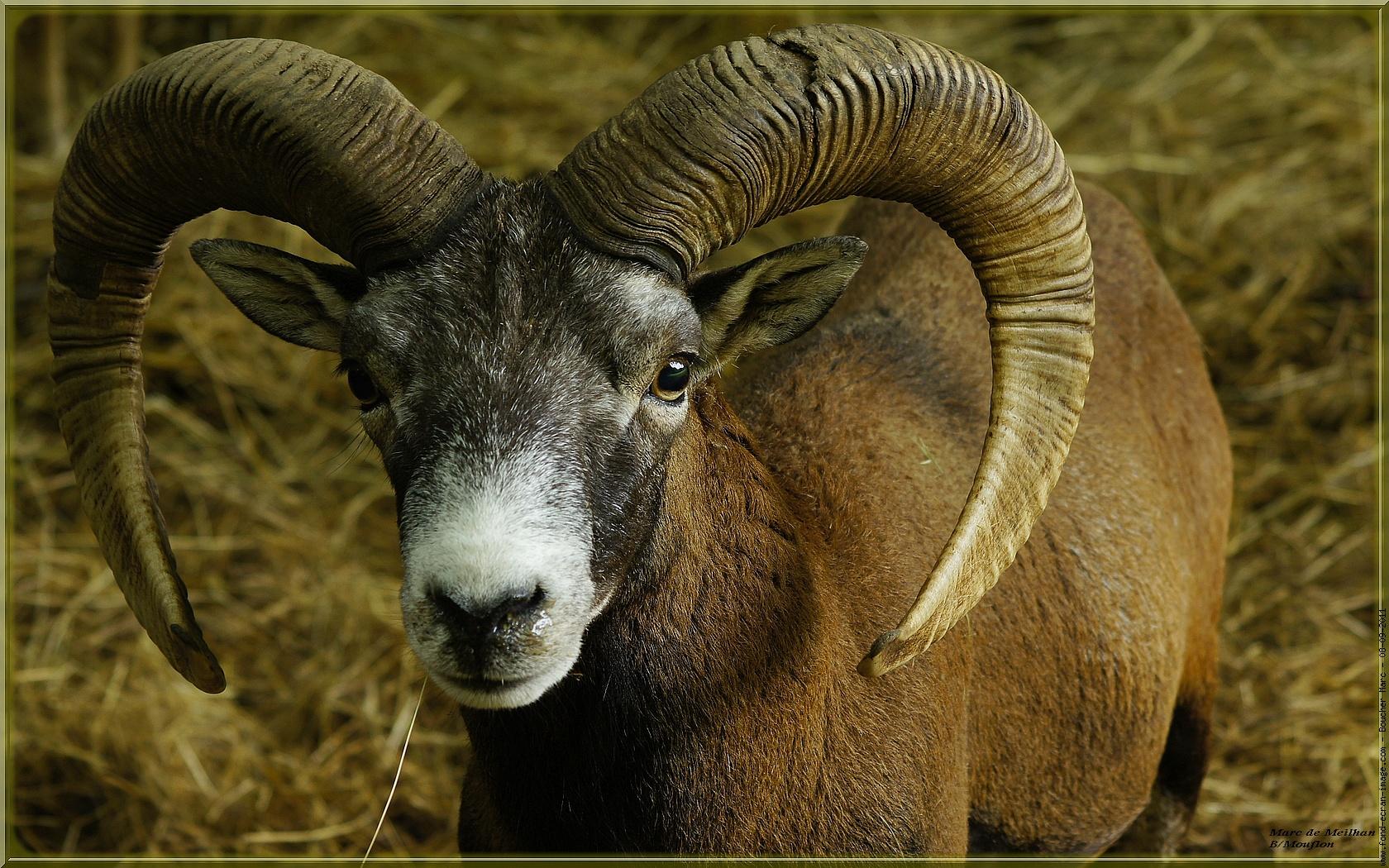 Best 58 Mouflon Wallpaper on HipWallpaper Mouflon Wallpaper 1680x1050